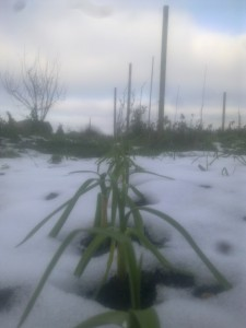 onions in the snow.