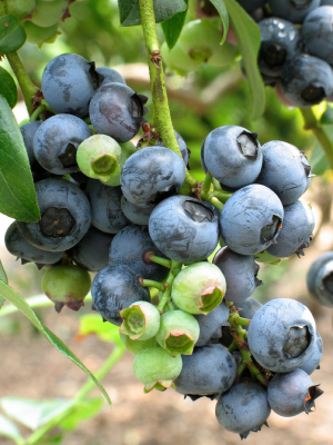 Which Blueberry Bushes to Buy