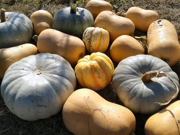 great squash varieties to try