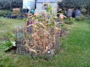 keeping the badgers off the sweetcorn