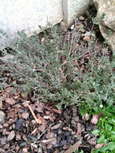 tale of two thyme