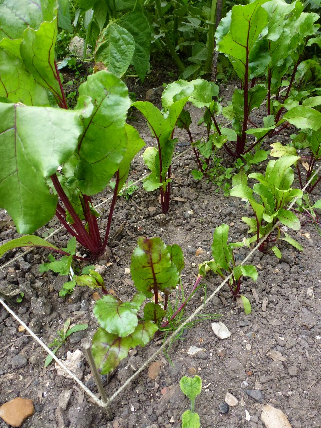 tips for growing beetroot