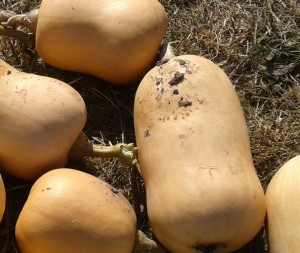 when are butternut squashes ready to harvest