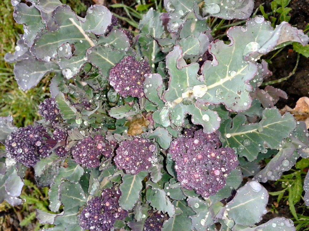 growing purple sprouting broccoli