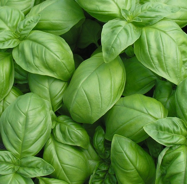 how to grow your own basil on the allotment