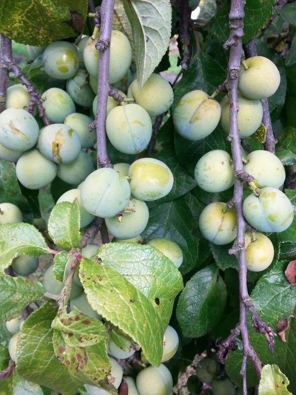 tips for stewing fruit from the allotment