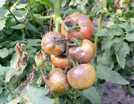 help prevent tomato blight
