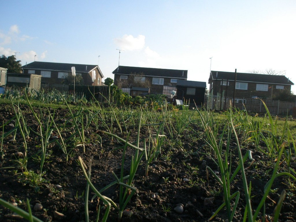 tips for planting overwintering onions