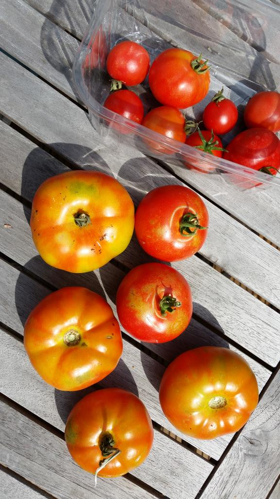 harvesting tomatoes and watching out for blight