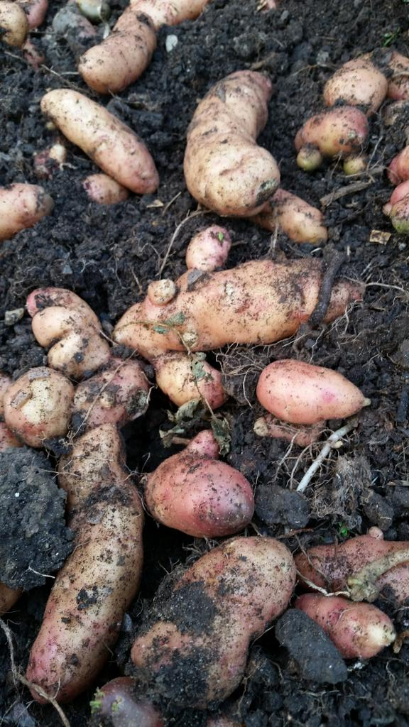 six great reasons to grow potatoes