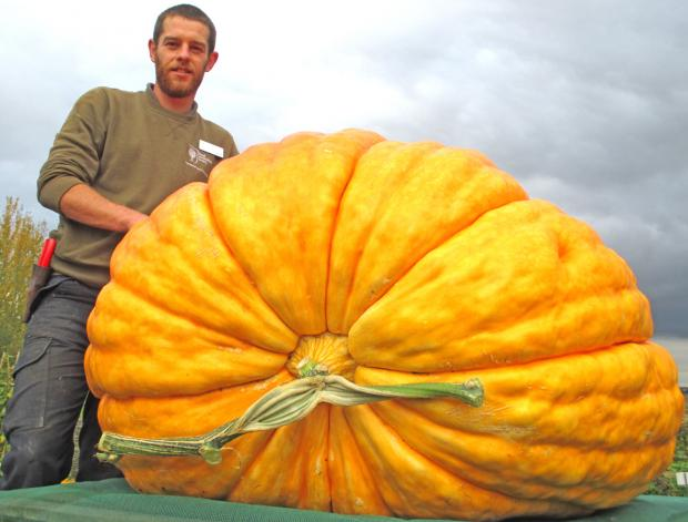RHS Hyde Hall's giant pumpkin. Photo from the Brentwood Weekly News