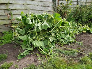 tangled squash vines for composting