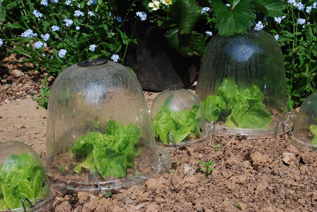 lettuces-growing in-garden-cloches