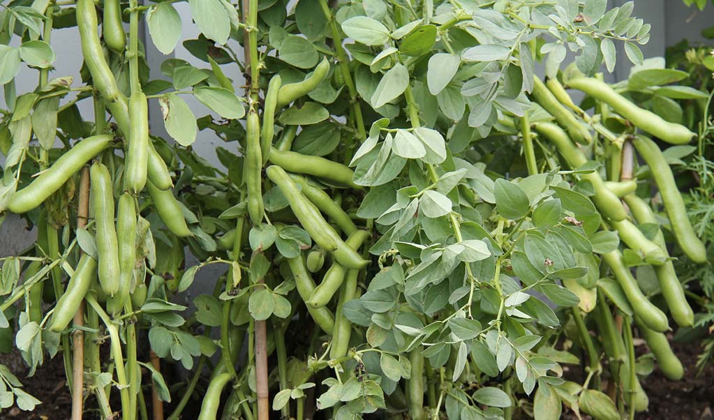 rows-of-broad-beans-ready-to-pick-and-cook