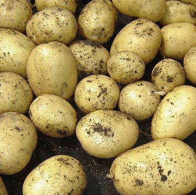 swift-potatoes-on-dark-soil