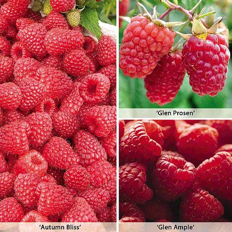 full-season-raspberry-collection-british-bred