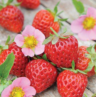 picture-of-just add-cream-strawberry-variety-with-pretty-pink-flowers