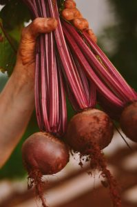 Holding grown beetroots
