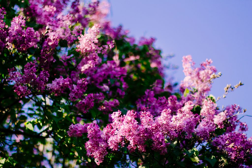 Guide to Growing Lilac