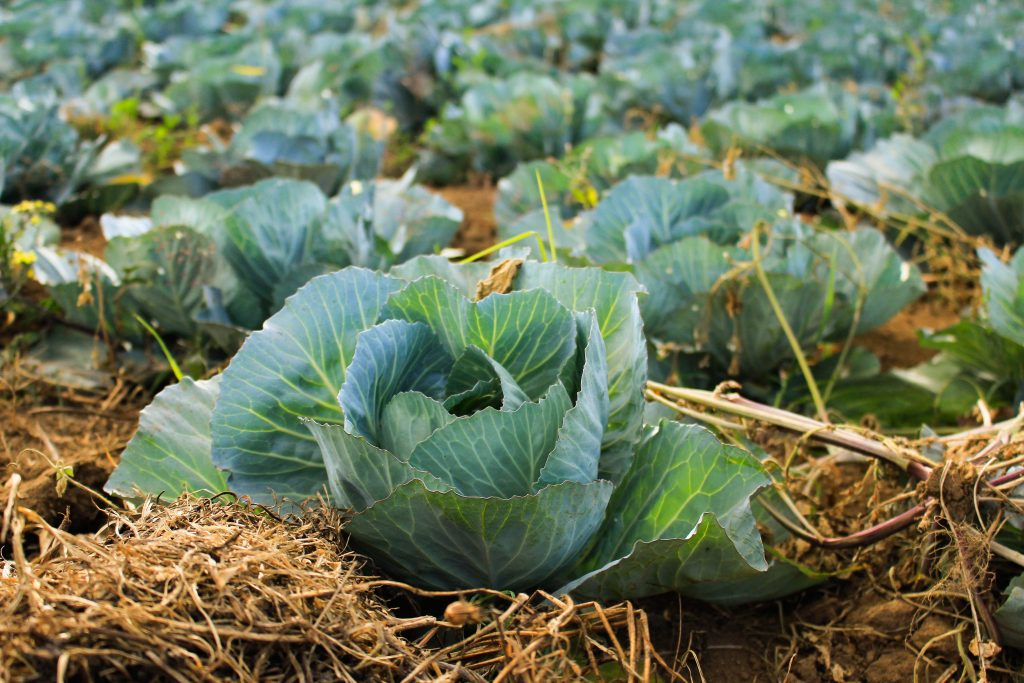 Guide to Growing Spring Cabbages